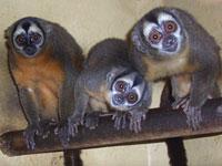 ADI_owl_monkeys200x150